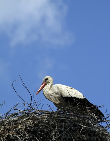 Stork in the nest Stock Photo