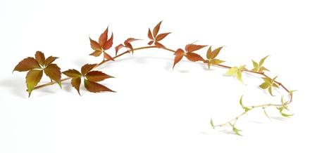 bordure vigne: Twig d'une plante grimpante