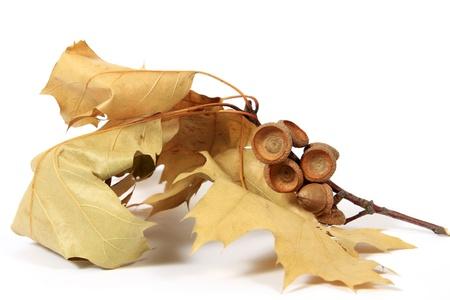 Brown acorns relating to oaken leaves