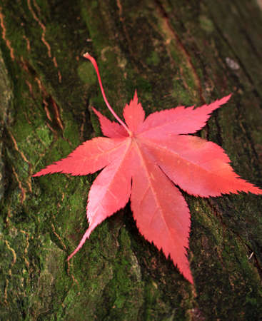 Red maple leaf on the trunk of the tree Stock Photo