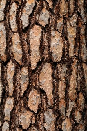 furrows: Bark on the pine tree