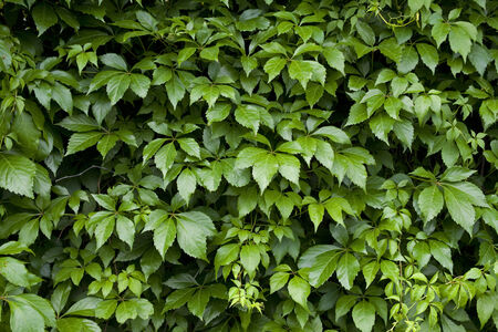 greenness: Natural background from climbing plants