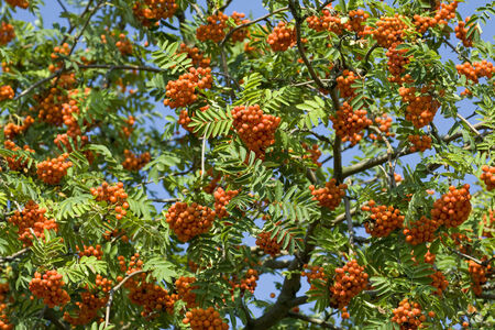 Leaves and ripe fruit of rowan