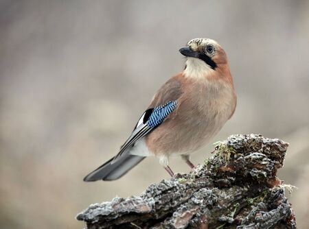 Eurasian Jay in the forest