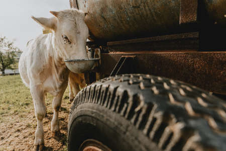 Young cow is standing behind the wheel of old water reservoir on the pasture and drinking a water from it Stock Photo