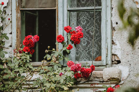 The bush of flowering red roses in front of old house with cracked facade and opened window with turquoise frame and curtain 版權商用圖片
