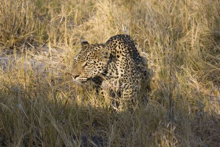 chobe: Leopard male hunting and stalking