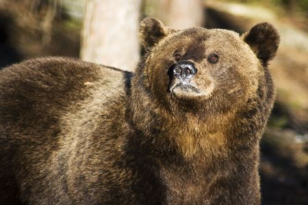 wild brown bear Stock Photo - 5502754