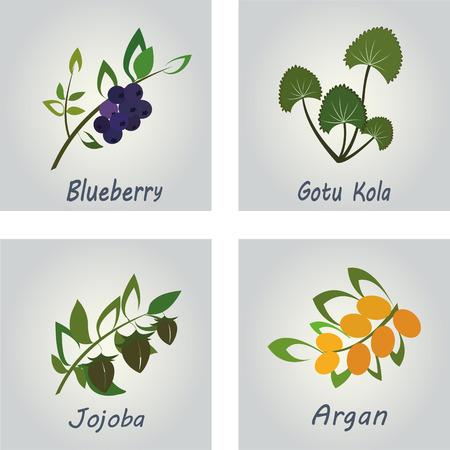 aroma therapy: Collection of Herbs . Natural Supplements. Argan, Gotu Kola, Blueberry, Jojoba Illustration