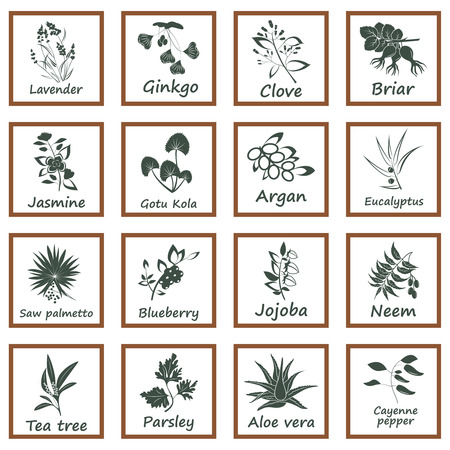 tea tree: Collection of Ayurvedic Herbs. Labels for Essential Oils and Natural Supplements