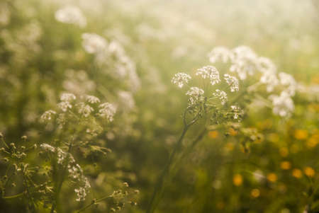 Tall grass and wild meadow flowers in the morning light. European landscape in the Bieszczady Mountains, the middle of the carpathians, far in the Eastern Europe, where untamed nature thrives.