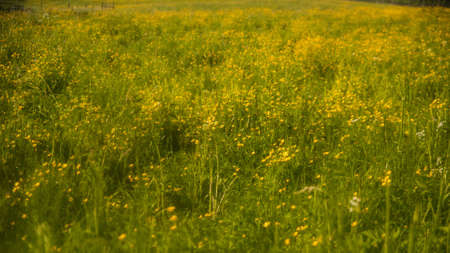 Wild, yellow flowers in a meadow. European landscape in Poland. Bieszczady national park far in the Eastern Europe, where untamed nature thrives. 版權商用圖片