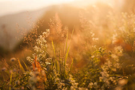 Tall grass and wild meadow flowers in the morning light. Polonina landscape in the Bieszczady Mountains, the middle of the carpathians, far in the Eastern Europe, where untamed nature thrives.