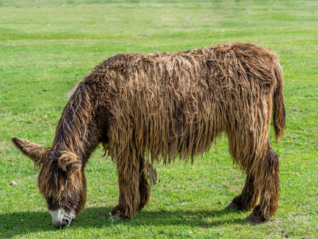 Poitou Donkey (Poitevin Donkey) photo
