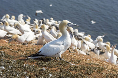 helgoland: Northern Gannet on Helgoland islands Stock Photo