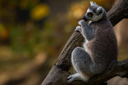bough: ring-tailed lemur