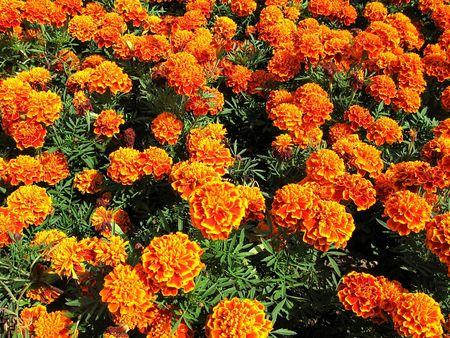 ringelblumen: Marigolds
