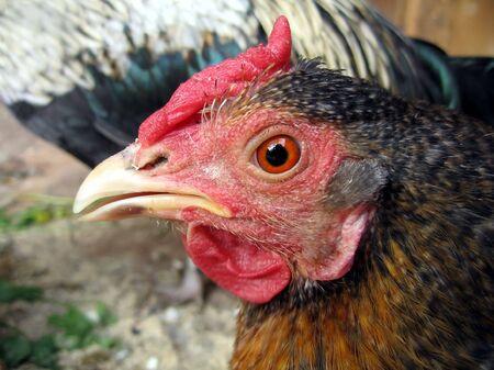 red hen: Red hen
