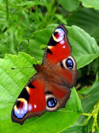 Peacock butterfly on leaf photo
