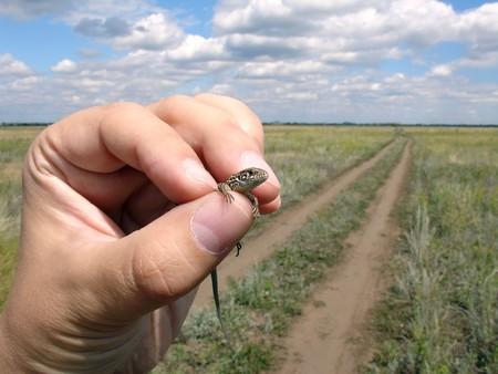 lizard in field: Lagarto en la mano  Foto de archivo