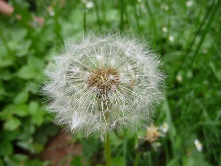airiness: Single white dandelion on a background of green grass