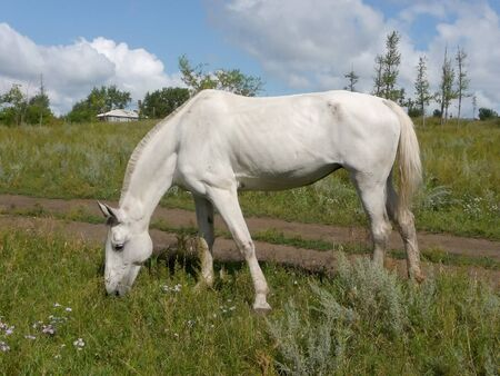 emaciated: White horse on field eats grass in rural place Stock Photo