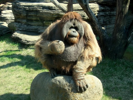 Angry orangutan sits on the rock and shows its fist photo