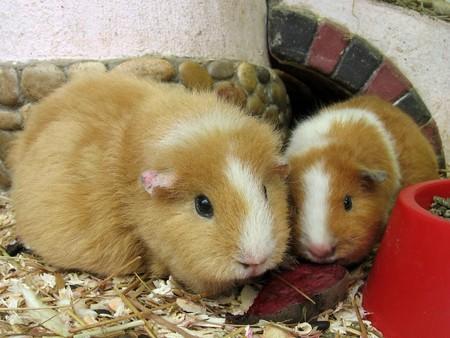 Two orange guinea pigs on the sawdust photo