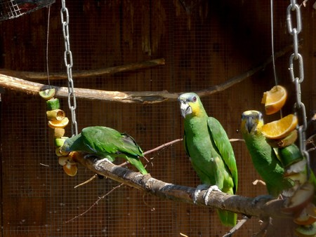loros verdes: Tres loros verdes se sienta en el palo en el zool�gico
