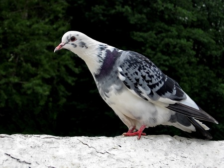 Beautiful white urban pigeon with motley wings Stock Photo - 8280718