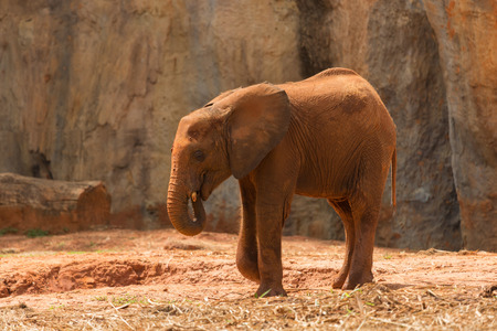 Baby African elephant (Loxodonta africana) covered in dust Stock Photo