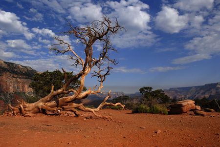 kaibab trail: Dead tree by the Kaibab trail,Grand canyon