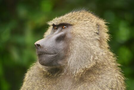 happening: Baboon watches over the happening in Manyara national park