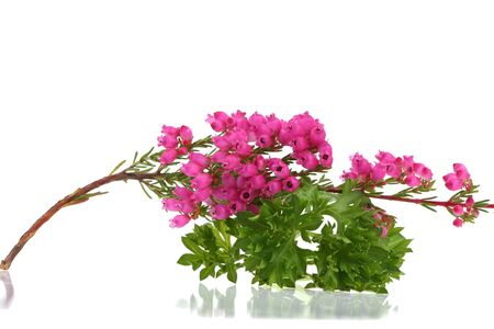 Pink heather with fresh green  parsley isolated on white background  photo
