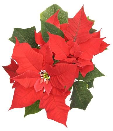 flor de pascua: Poinsettia (Estrella de Bel�n) de cerca de flores aisladas sobre fondo blanco Foto de archivo