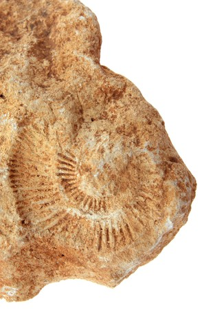 fossilized: Detail of a fossilized ammonite spiral on white background