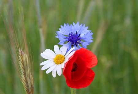 Poppies, cornflowers and chamomiles on a green field photo