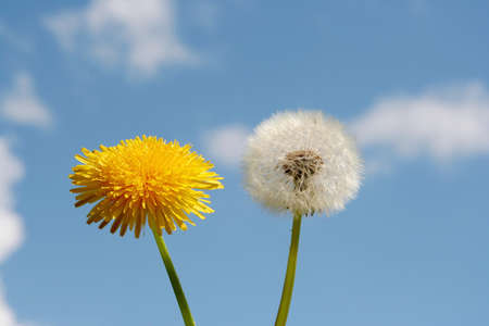 ageing: Dandelions oves blue sky, time concept