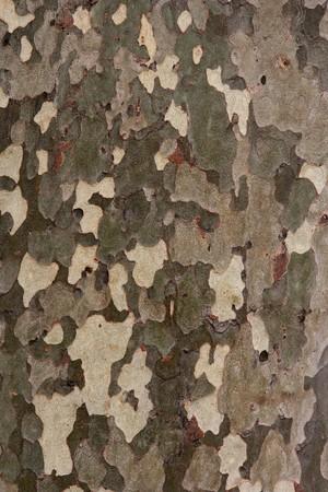Tree bark texture, plane-tree background photo