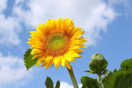 sunflower with  blue sky photo
