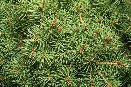 Pine branch background photo
