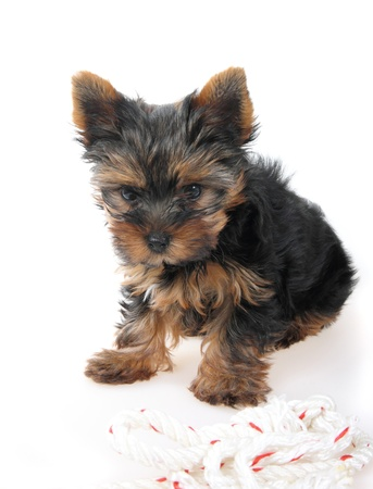 Yorkshire Terrier dog with kis toy's line,  2 month, Stock Photo - 8591410