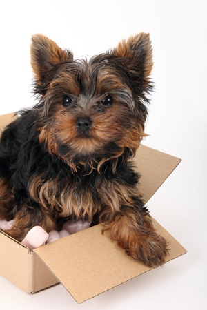 Yorkshire Terrier in cardboard box with soft foam Stock Photo - 8591440