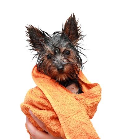 yorkshire: Little wet Yorkshire terrier with orange towel Stock Photo