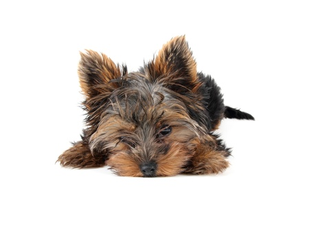 Laying puppy Yorkshire Terrier, 3 month photo
