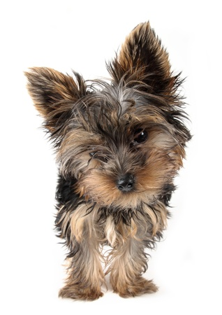 puppy Yorkshire Terrier in front, 3 month dog  photo