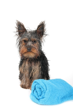 after the bath: wet Yorkshire terrier with blue towel, after the bath Stock Photo