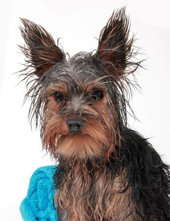 Húmedo Yorkshire terrier con toalla, después del baño