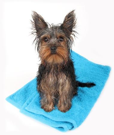 perro mojado después de baño, sentado en la toalla azul.