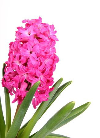 flower hyacinth on white background photo